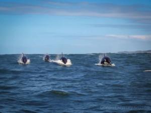 Ocean-Odyssey-whale-watching-knysna-3