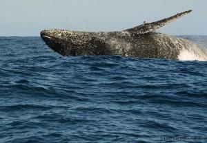 Ocean-Odyssey-whale-watching-knysna-33