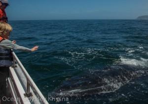 Ocean-Odyssey-whale-watching-knysna-35