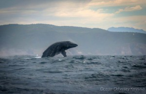 Ocean-Odyssey-whale-watching-knysna-7