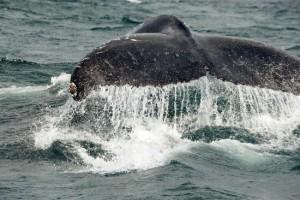 Ocean-Odyssey-whale-watching-knysna-gallery-12-1030x687