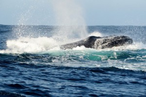 Ocean-Odyssey-whale-watching-knysna-gallery-15-1030x688