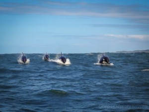 Ocean-Odyssey-whale-watching-knysna-orcas-1